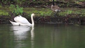 Cigni che nuotano i gallinacei dell'uccello acquatico video d archivio