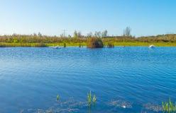 Cigni che nuotano lungo il bordo di un lago al sole alla caduta Fotografie Stock