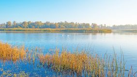 Cigni che nuotano lungo il bordo nebbioso di un lago all'alba in autunno Immagine Stock