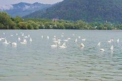 Cigni che nuotano nel lago Fotografia Stock