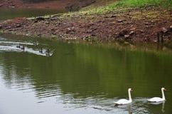 Cigni che nuotano nel lago del bacino idrico in Pang Ung Fotografia Stock