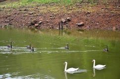 Cigni che nuotano nel lago del bacino idrico in Pang Ung Fotografia Stock Libera da Diritti