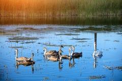 Cigni che nuotano sul lago Immagini Stock
