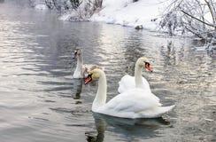Cigni che nuotano sul lago Fotografia Stock Libera da Diritti