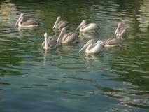 Cigni che nuotano sull'acqua Immagine Stock Libera da Diritti