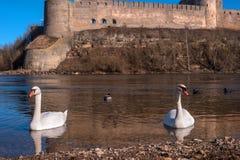 Cigni che nuotano sull'acqua in natura Immagini Stock Libere da Diritti