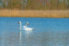 Cigni che nuotano in un lago nell'inverno Immagini Stock Libere da Diritti