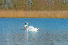 Cigni che nuotano in un lago nell'inverno Fotografia Stock Libera da Diritti