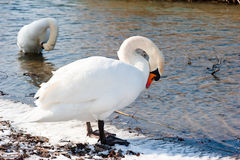 Cigni che preening nel lago Fotografie Stock
