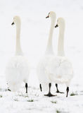 3 cigni che stanno nella neve Fotografia Stock