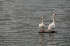 Cigni che stanno su un fascio in mezzo al lago fotografia stock libera da diritti