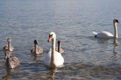 Cigni con i cigni del bambino nel lago Lemano immagine stock libera da diritti