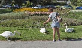 Cigni d'alimentazione della donna in sanguinato in, la Slovenia Immagine Stock