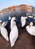 Cigni dal Tamigi, Windsor fotografia stock libera da diritti