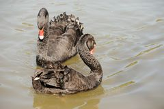 Cigni di amore Fotografie Stock