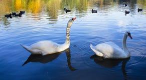 Cigni di Gracefull che galleggiano sull'acqua Fotografie Stock Libere da Diritti