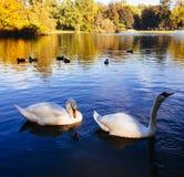Cigni di Gracefull che galleggiano sull'acqua Fotografia Stock