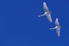 Cigni di volo Fotografia Stock