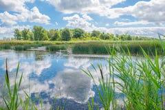 Cigni e cigni che nuotano in un lago di estate Immagine Stock
