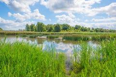 Cigni e cigni che nuotano in un lago di estate Fotografie Stock Libere da Diritti