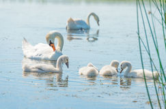 Cigni e cigni che nuotano in un lago al sole Immagini Stock
