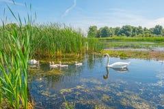 Cigni e cigni che nuotano in un lago di estate Fotografie Stock