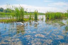 Cigni e cigni che nuotano in un lago di estate Immagini Stock Libere da Diritti