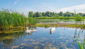 Cigni e cigni che nuotano in un lago di estate Immagine Stock Libera da Diritti