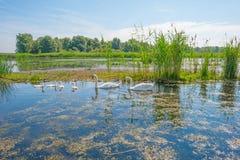 Cigni e cigni che nuotano in un lago di estate Immagini Stock
