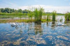 Cigni e cigni che nuotano in un lago di estate Fotografia Stock Libera da Diritti