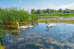 Cigni e cigni che nuotano in un lago di estate Fotografia Stock