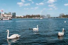 Cigni ed anatre che nuotano sul lago Alster a Amburgo il giorno soleggiato Fotografia Stock