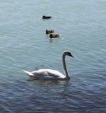 Cigni ed anatre nel baraton del lago, Budapest, Ungheria immagini stock