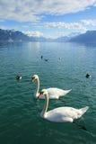 Cigni ed anatre nel lago Lemano Immagine Stock Libera da Diritti