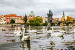 Cigni ed anatre vicino a Charles Bridge a Praga Fotografia Stock