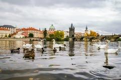 Cigni ed anatre vicino a Charles Bridge a Praga Immagine Stock Libera da Diritti