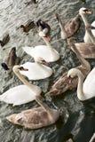 Cigni ed oche che lo combattono fuori per il pane Fotografie Stock Libere da Diritti