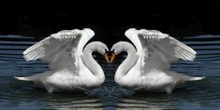 Cigni gemellare che affrontano per creare figura del cuore Immagini Stock
