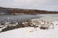 Cigni in inverno Fotografia Stock