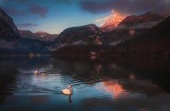 Cigni in lago Fotografie Stock Libere da Diritti