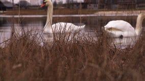Cigni in lago nell'inverno