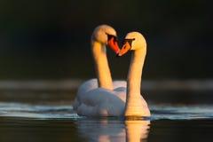 Cigni muti (olor del Cygnus) nell'amore Fotografia Stock