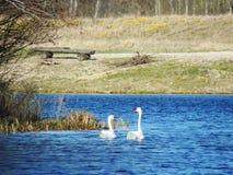 Cigni muti romantici nel Mar Baltico Fotografie Stock