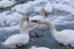 Cigni muti in un freddo, fiume del blu di Snowy Fotografia Stock Libera da Diritti