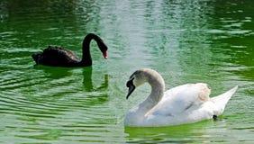 Cigni nel lago Immagini Stock Libere da Diritti