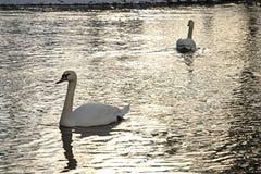 Cigni nel lago Immagini Stock