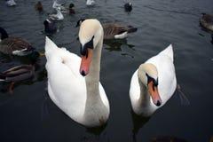 Cigni nel lago Fotografie Stock Libere da Diritti