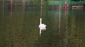 Cigni nel lago Cigno bianco nel lago nebbioso all'alba Luci di mattina fondo romantico Bello cigno cygnus fotografia stock libera da diritti