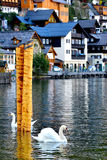 2 cigni nel lago Hallstatt Fotografia Stock