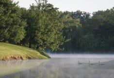 Cigni nel lago nebbioso Fotografie Stock